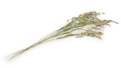 Gras getrocknet